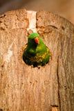 Pássaro colorido Imagens de Stock