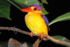 Pássaro colorido Foto de Stock Royalty Free