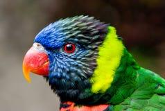 Pássaro colorido de Lorikeet imagens de stock royalty free