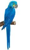 Pássaro colorido do papagaio na vara Imagens de Stock Royalty Free
