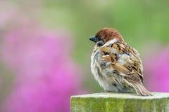 Pássaro colorido do pardal de árvore castanha macia Fotografia de Stock