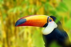 Pássaro colorido do tucano foto de stock