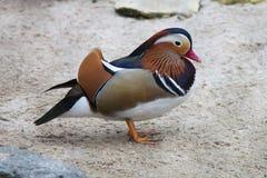 Pássaro colorido exótico ereto Bico vermelho Pato de mandarino colorido Aix Galericulata Imagens de Stock