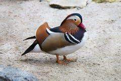Pássaro colorido exótico ereto Bico vermelho Pato de mandarino colorido Aix Galericulata Fotografia de Stock