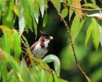 Pássaro com alimento Foto de Stock Royalty Free