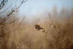 Pássaro com baga Fotografia de Stock Royalty Free