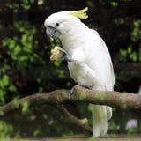 Pássaro com crista do cacatua da cacatua do enxofre branco Imagem de Stock