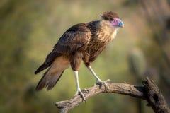 Pássaro com crista do Caracara no ramo Foto de Stock Royalty Free