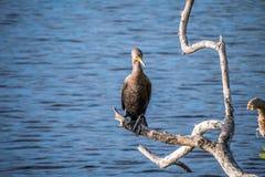Pássaro com crista dobro do cormorão em Brandeton, Florida fotografia de stock royalty free