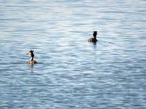Pássaro com crista no lago foto de stock