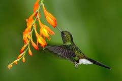 Pássaro com flor alaranjada Colibri do voo Colibri na mosca Cena da ação com colibri Turmalina Sunangel ea do colibri Fotos de Stock Royalty Free