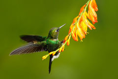 Pássaro com flor alaranjada Colibri do voo, colibri na mosca Cena da ação com colibri Turmalina Sunangel ea do colibri Imagens de Stock Royalty Free