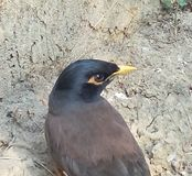 Pássaro com fome que procura o alimento Fotos de Stock Royalty Free