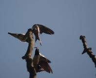 Pássaro com inseto Foto de Stock Royalty Free
