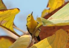 pássaro comum Imagem de Stock