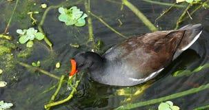 Pássaro comum do gallinule florida EUA filme