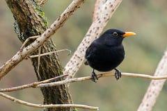 Pássaro comum do melro do homem no preto com anel amarelo do olho, bico p Foto de Stock Royalty Free