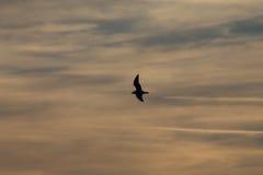 Pássaro contra nuvens do por do sol Fotografia de Stock