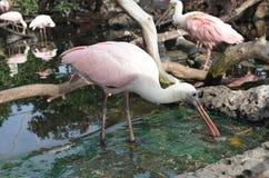 Pássaro cor-de-rosa Fotografia de Stock Royalty Free