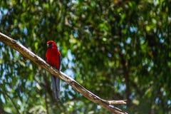 Pássaro corajoso Fotos de Stock Royalty Free