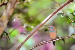 Pássaro, Cordon bleu vermelho-cheeked Imagens de Stock