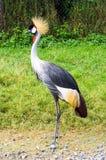 Pássaro coroado do guindaste Imagem de Stock