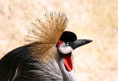 Pássaro coroado preto do guindaste Fotos de Stock Royalty Free
