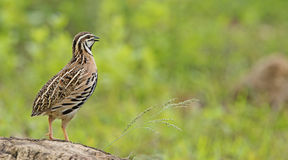 Pássaro, coromandelica de Cotumix das codorniz da chuva Foto de Stock