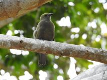 Pássaro Costa Rica do Tanager dos azuis bebê Foto de Stock Royalty Free