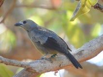 Pássaro Costa Rica do Tanager dos azuis bebê Foto de Stock