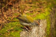 Pássaro costurado terra comum imagem de stock