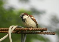 Pássaro curioso do pardal imagem de stock