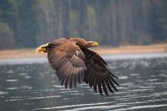 Pássaro da águia de mar Foto de Stock