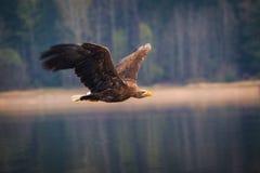 Pássaro da águia de mar Fotografia de Stock Royalty Free