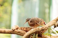 Pássaro da abetarda de Kori, kori de Ardeotis Fotos de Stock Royalty Free