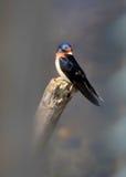 Pássaro da andorinha de árvore Imagens de Stock Royalty Free
