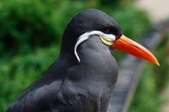 Pássaro da andorinha-do-mar de Inka Imagens de Stock Royalty Free