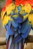 Pássaro da arara Fotografia de Stock Royalty Free