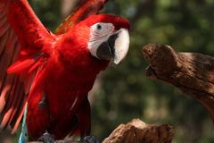 Pássaro da arara Fotos de Stock