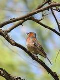 pássaro da beleza que senta-se em uma árvore Imagens de Stock
