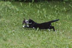 Pássaro da caça do gato doméstico fotos de stock royalty free