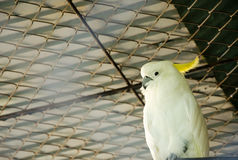 Pássaro da cacatua (galerita do Cacatua) Fotos de Stock