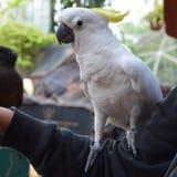 Pássaro da cacatua que empoleira-se disponível Imagens de Stock Royalty Free