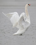 Pássaro da cisne Foto de Stock