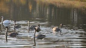 Pássaro da cisne na lagoa vídeos de arquivo