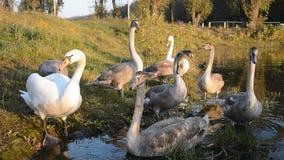 Pássaro da cisne na lagoa filme