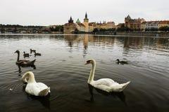 Pássaro da cisne no rio de Vltava dentro na capital Praga de República Checa Fotografia de Stock