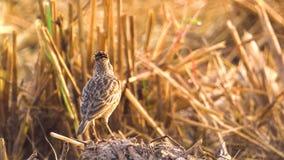 Pássaro da cotovia que canta para chamar seus amigos no campo de almofada Fim acima Mosca afastado Luz solar da manhã video estoque