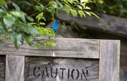 Pássaro da estamenha de índigo, Walton County, Geórgia EUA imagens de stock royalty free