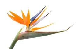 Pássaro da flor de paraíso imagem de stock